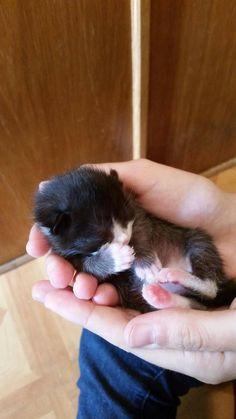 Newborn black & white kitten