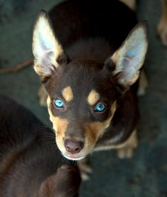 Kelpie pup from Australian Working Dog Rescue Look at those eyes Australian Shepherds, West Highland Terrier, Scottish Terrier, Beautiful Dogs, Animals Beautiful, Rottweiler, Australian Dog Breeds, Cute Puppies, Dogs And Puppies