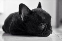 french bulldog puppy 9 weeks old