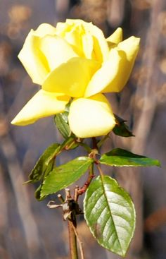 I photographed this rose today. It must be the most lastingly splendid rose that the bush has produced all year. Normally, one of its attractive yellow blooms has only to unfold a little to become …
