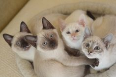 adorable family of siamese kittens