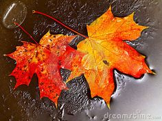 LEAVES IN ICE | Orange Maple Leaves In Ice Stock Photography - Image: 6580492