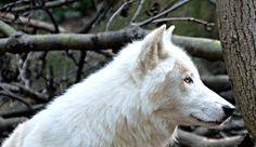02 Die Woelfe wollen zurück - Helmuts Skripts Wolf, Animals, Pictures, Animales, Animaux, A Wolf, Wolves, Animal, Animais