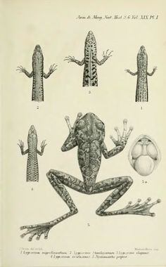 II.— Descriptions of new lizards and frogs from Mount Victoria, Owen Stanley Range, New Guinea, collected by Mr. A. S. Anthony - BioStor