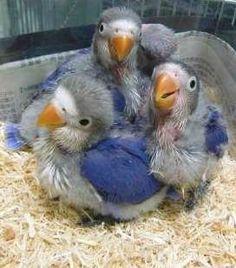 Violet par blue Fischer's lovebirds