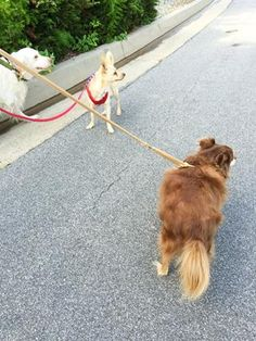 Walking three dogs in the morning is a little difficult sometimes...