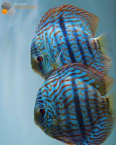Heckel Cross Discus breeding pair ❤️⠀ #discus #diskus #diskusfische #aquarium #symphysodon #tropicalfish #discusfarm #discusfish #fish #discusbreeding #fishfarm #fishtank #fishkeeper #fishkeeping #instafish #fishofinstagram #freshwater...
