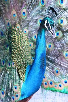 Up close and personal shot of the pretty peacock with its glamourous rich blue toned colors and dramatic frock! Frocks, Peacock, Glamour, India, Colors, Pretty, Blue, Goa India, Peacocks