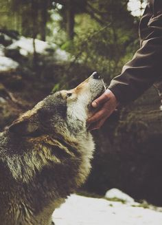 wolf, animal, and nature afbeelding