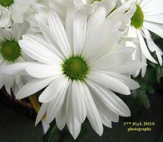 Margarita petalos blancos