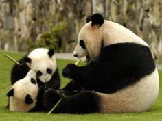 Panda Family enjoying the outdoors. Panda Bebe, Cute Panda, Cute Baby Animals, Animals And Pets, Baby Pandas, Giant Pandas, Wild Animals, Photo Panda, Save The Pandas