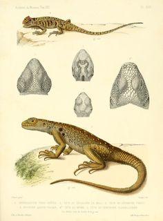 Description des reptiles nouveaux ou imparfaitement connus de la collection du Muséum d'histoire naturelle et remarques sur la classification et les caractères des reptiles. - Biodiversity Heritage Library