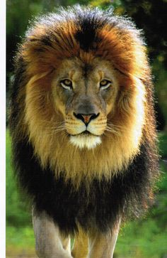 King of the Jungle and so regal
