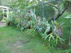 Staghorn Fern Mounting Ideas | Cedar mount, hung on fence, benign neglect seems to work well ...