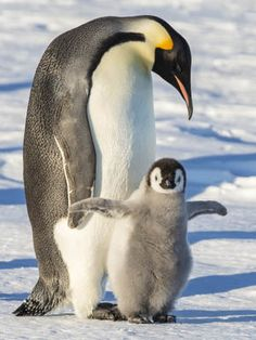 Maths in a minute: Penguins Penguin Egg, King Penguin, Penguin Love, Penguin Craft, Penguin Awareness Day, Baby Animals, Cute Animals, Baby Penguins, Wild Birds