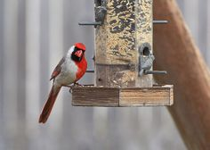An unexpected arrivalCredit: Larry P. Ammann, www.RemoteSensingArt.comIn January, this odd cardinal showed up at Larry Ammann's backyard feeder in Texas. (The red side is male.) Ammann, a wildlife photographer, had never seen anything like it. He and the biologists he consulted concluded it was likely part male, part female — a gynandromorph. Eventually, the bird was chased away by other cardinals.