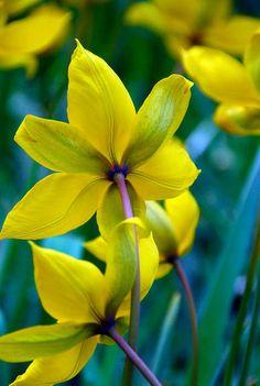 Tulipa Sylvestris, Tulip Sylvestris, Botanical Tulip, Tulip Species, Rock Garden Tulip, Wild Tulip, Woodland Tulip, Florentine Tulip, Yellow tulip