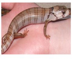 PinkStink the Pink Tongued Skink