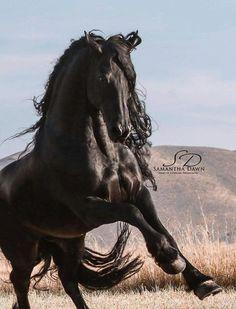 Friesian Most Beautiful Animals, Beautiful Horses, Beautiful Creatures, Black Horses, Wild Horses, Horse Girl, Horse Love, Majestic Horse, Friesian Horse