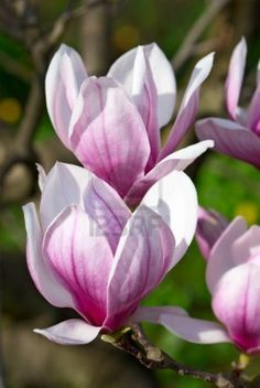 Spring Magnolia Tree Blossoms In The Garden Stock Photo, Picture And Royalty Free Image. Flor Magnolia, Magnolia Trees, Magnolia Flower, Flowers Nature, Exotic Flowers, Spring Flowers, Beautiful Flowers, Japanese Magnolia, Flowering Trees