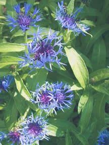 centaurea (bachelor buttons): montana sun plant blooms late spring/early summer