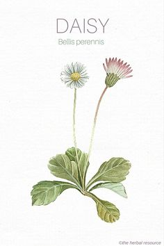 The Medicinal Herb Daisy