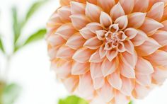Cream Dahlia Flower Wallpaper