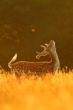 "God always uses deer to remind me of his love. This one is looking up to Him. :)♂ Wildlife photography Golden Deer ""Fly Dance"" by Simon Roy"