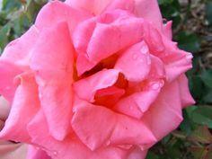 6 pasos para tener los rosales sanos