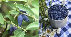 Blåbärstry – lättodlat bär med superkrafter | LAND.se