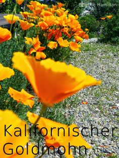 Kalifornischer Goldmohn. California Poppy. http://eclectichamilton.blogspot.de/