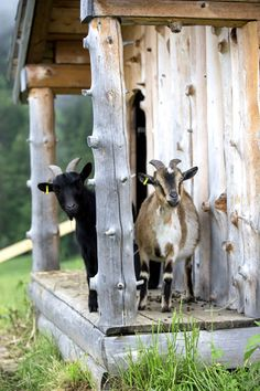 Our goats and sheep do this too! Better than an alarm clock! The UPS guy is a bit afraid.