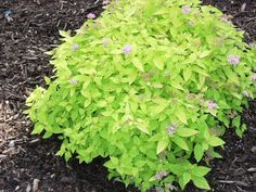 Spirea 'Limemound' A GUIDE TO NORTHEASTERN GARDENING: Deciduous Trees/Shrubs