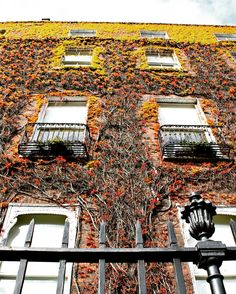 Spent some of my time in #dublinireland obsessed with this lovely #springfoliage #ivyonbuildings Such a pretty city. All the details up on the blog right now! #ivyonbuilding #ivybuilding #dublin #dublincity