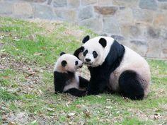 Bao Bao the Giant Panda cub at the National Zoo.