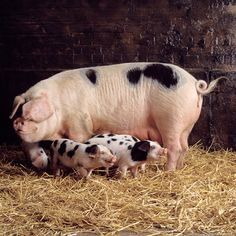Heritage Livestock Breeds: Why Important Traditional animal breeds benefit both homesteaders and consumers with their hardiness, adaptability, flavorful meat and genetic diversity. From MOTHER EARTH NEWS Magazine Farm Animals, Animals And Pets, Cute Animals, This Little Piggy, Little Pigs, Gloucestershire Old Spots, Pig Breeds, Pig Farming, Mother Earth News
