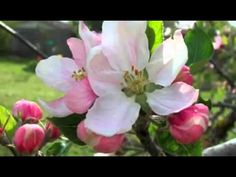 ▶ Life Cycle of An Apple Tree YouTube - YouTube