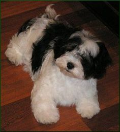 Havanese puppy!!! So fluffy!