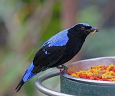 Asian fairy-bluebird (Irena puella) is found in forests across tropical southern Asia from the Himalayan foothills, India & Sri Lanka east through Indochina, the Greater Sundas & Palawan (Philippines). Two or three eggs are laid in a small cup nest in a tree. It was described by British ornithologist John Latham in 1790. The only other member of the genus and family is the Philippine fairy-bluebird, I. cyanogastra, which replaces the Asian fairy-bluebird in most of the Philippines.