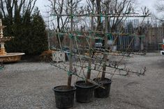 espaliered pear trees