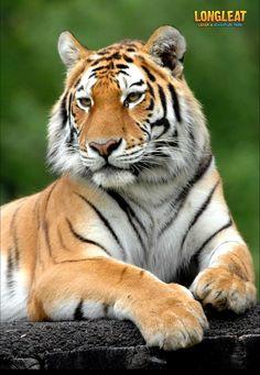 Watching his territory... #Longleat #Tigers #LongleatSafari #TigerTerritory