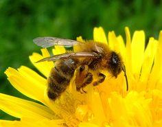 37. Het nut van onkruid en het belang van voorjaarsbloeiers voor de bijen