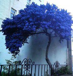 """.ESTA É UMA """"CEANOTHUS BLUE"""", SÓ FLORESCEM NO INVERNO.....BELLA......"""