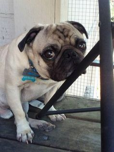 pugssquared:This is Grumpus and today is his 4th birthday!...