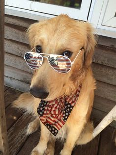 Golden Retriever Dog wearing sunglasses & USA American Flag bandana