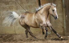 western quarter horse dunalino...the color of a palomino with the primitive markings of a dun <3