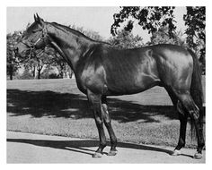 Citation, a thoroughbred race winner good conformation Most Beautiful Animals, Beautiful Horses, Calumet Farm, Different Horse Breeds, Triple Crown Winners, Derby Winners, Sport Of Kings, Thoroughbred Horse, Racehorse