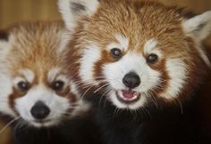 No need to tell these guys to smile for the camera! Zoo Boise welcomes Winston and Dolly the red pandas.