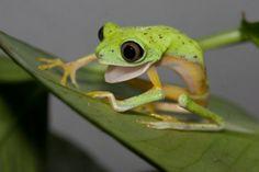 skinny frog