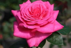 """Lady Like®  Having a sweet honey fragrance this old timer dates back in 1971 and is still a very good rose bred by Tantau of Germany, breeder of such roses as 'Tropicana' and 'Fragrant Cloud'. In fact, 'Lady Like' has 'Tropicana' as one of its parents. Medium pink 5"""" blooms (petals 50+) are produced on a continual blooming bush having semi-glossy large dark green foliage.  Zone 6-10"""